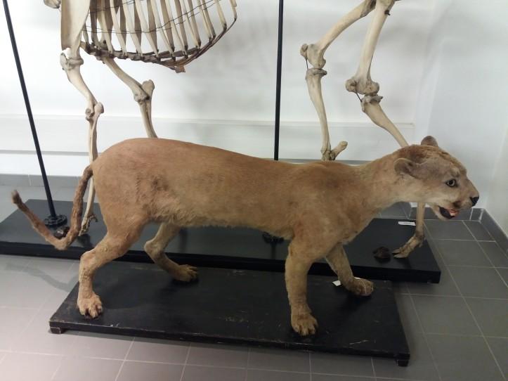 Puma Guatemala